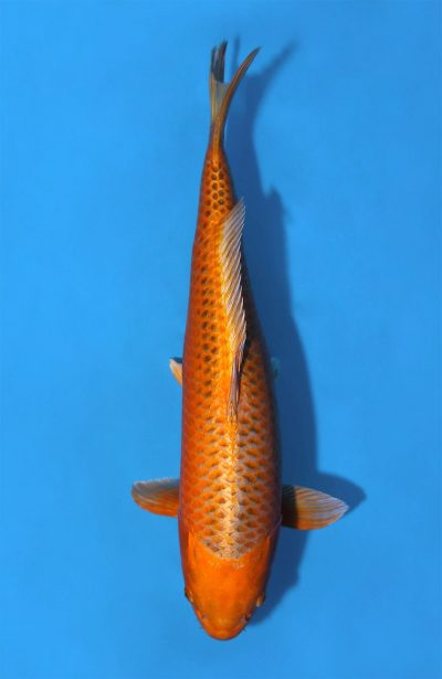 Ogon Orenji